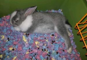 Dwarf bunnies for sale to good home