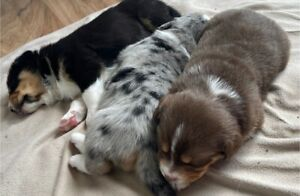 Australian shepherd x Siberian husky puppies