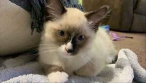 Rag doll male kitten