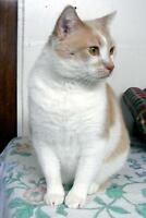 """Adult Male Cat - Domestic Short Hair: """"Chazzy"""""""