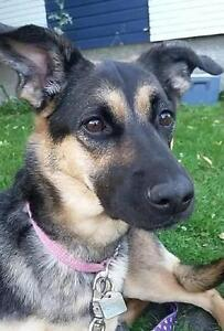 "Adult Female Dog - German Shepherd Dog: ""ARYA"""