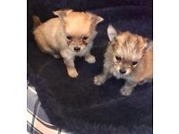 Chihuahua long haired puppies
