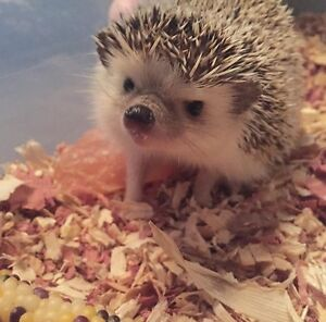 Hedgehog for rehoming *price negotiable****