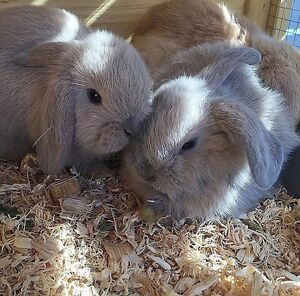 Mini Lop Bunny Rabbits (AVAILABLE NOW) Pemulwuy Parramatta Area Preview