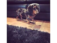 KC reg. male dachshund puppy
