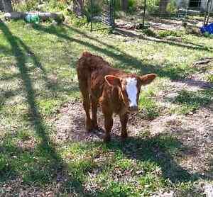 Bottle calf for sale