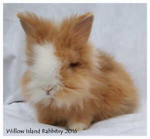In Edmonton - Available Immediately Dwarf Lionhead Rabbit