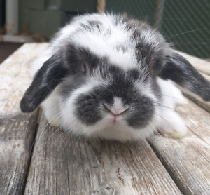 Purebred Holland Lop Bunnies (ONLY 1 Left!!)