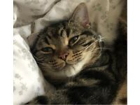 Missing tabby cat from Belmont Carrville Durham