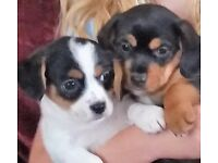 Cavajack Puppies
