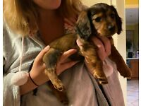 Daschund Female Puppy. Ready now.
