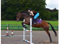 16.1hh ISH Mare- Reduced £1400