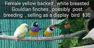 Native and exotic finches Georges Hall Bankstown Area Preview