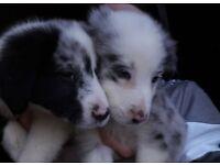 Border collie pups mix litter
