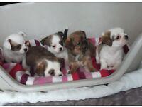 Beautiful Shih Tzu x Chihauhau Puppies For Sale