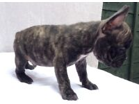 **REDUCED**READY NOW **POSS CHOCO CARRIERS FANTASTIC FRENCH BULLDOGS