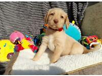 **LABRADOODLE PUPPIES READY TO GO**