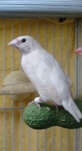 Temporary Special needs gouldian finch