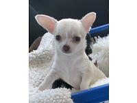 KC Chihuahua girl puppy
