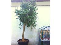 Giant olive tree