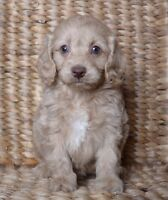 COCKAPOO PUPPIES with Gorgeous Colours + 3 Boys + 1 Girl