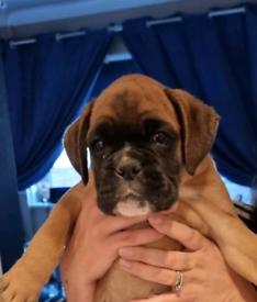 Kc reg boxer puppy