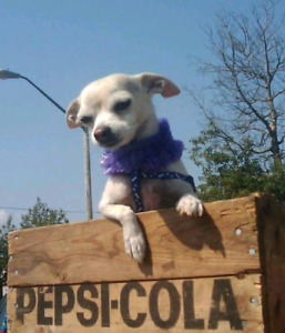 Looking for another Chihuahua owner to swap dogsitting.