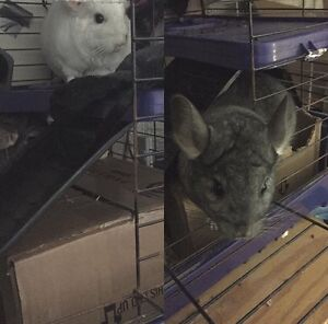 Chinchillas for sale mother and daughter $150 comes with cage