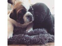 3/4 Pug 1/4 Jack Russell - Jug Puppies