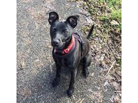 Thorn / Whippet X Patterdale