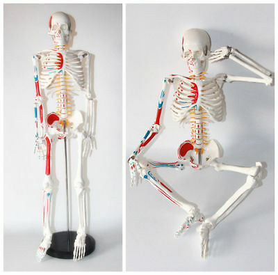 (Human 85cm Anatomical Anatomy Skeleton Medical Model Muscle +Stand Fexible)