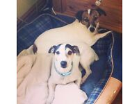 2 Jack Russells for Rehoming!