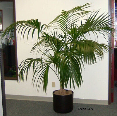 One Of The Best indoor plant/ Kentia Palm/ Howea forsteriana 20 Finest (Best Indoor Plant Seeds)