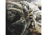 **REDUCED** Chilean Rose Tarantula and full set up!
