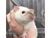 Gorgeous Pair of Male Rats