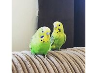 Male and female budgies for sale