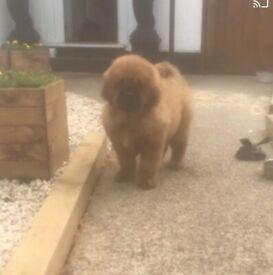 Tibetan Mastiff chinese