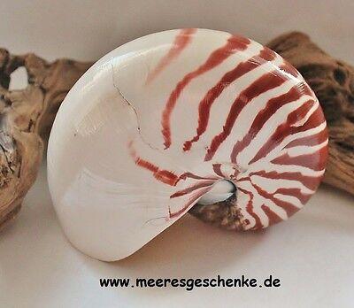 Echte Nautilus Muschel Meeresschnecke natur ca. 16 x 12 x 8 cm