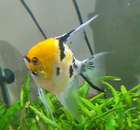 Pair of Large Angelfish