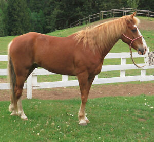 Beautiful 9 year old Registered Tennessee Walker - Gelding