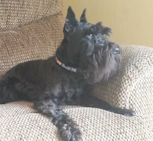 Miniature schnauzer male is looking for a Foster Family