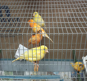 Canaries for sale.