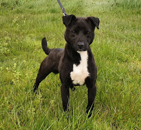12 month old Patterdale / Russell