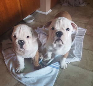 English bulldog X Olde English bulldog puppies