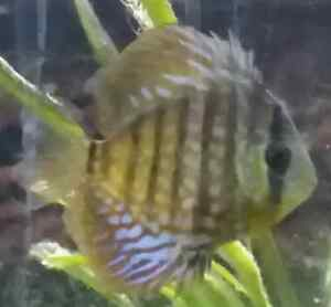Fish for sale Discus, Clown loaches, Bristlenose pleco