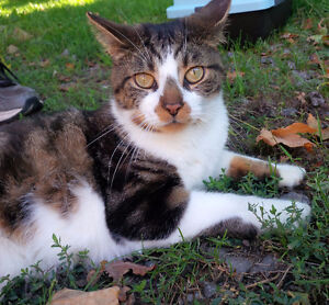 Affectionate FIV+ Neutered Male Cat in Need of Indoor Home
