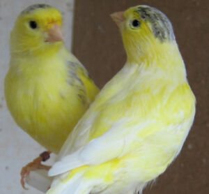 Canaries $100 purebred singers. 905-515-4307 voicemail or text.
