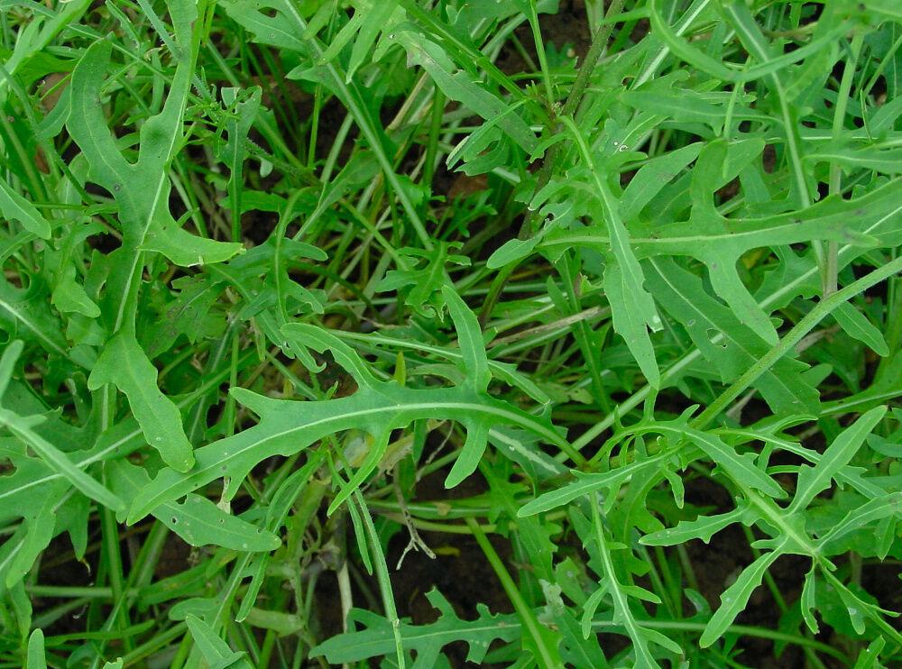 500 Samen Wilde Rauke Rucola selvatica mehrjährig winterhart Salat Rukola