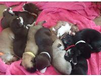 Staffy x husky puppys