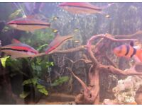 Fish Tank - Red Line Torpedo barbs for sale